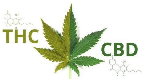 greenrushdaily-CBD-vs-THC.jpg